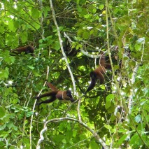 Brown Woolly Monkeys