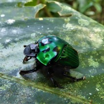 Dung Rolling Beetle