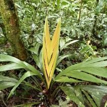 Fish-tail palm