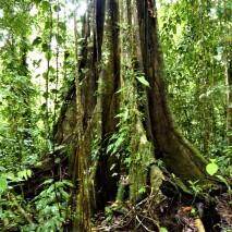 Giant Ceibo Tree