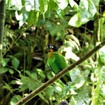 Orange Cheek Parrot 3