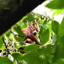 Red Houler Monkey