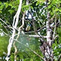 White Throated Toucan