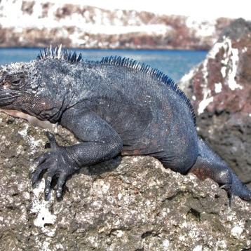 marine iguana3