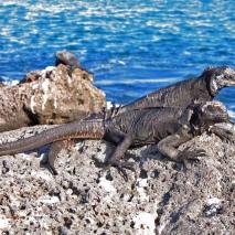 marine iguanas4