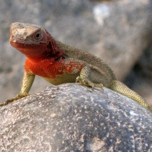 red throated iguana