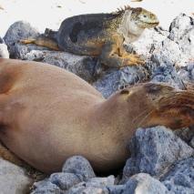 sealion iguana