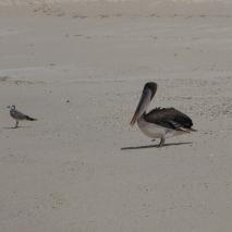 south plaza, pelicane