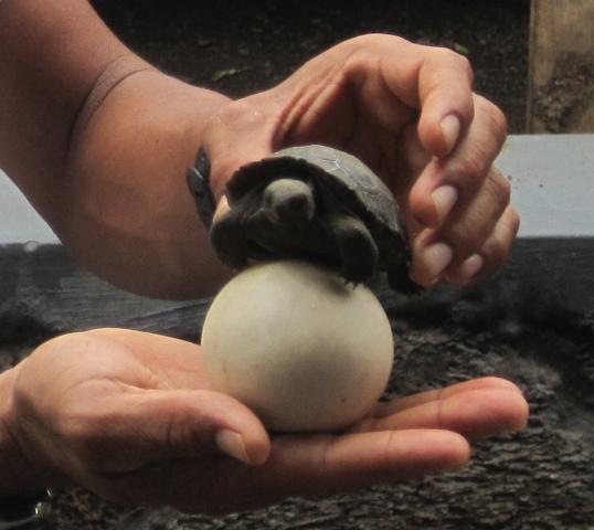 Galapagos_egg_and_hatchling.jpg