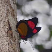 Bathesia Butterfly
