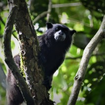 Black-mantled Tamarin Monkey