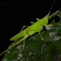 Carnivoros Bush-Cricket