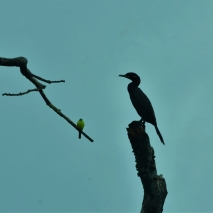 Kiskadee and Cormorant