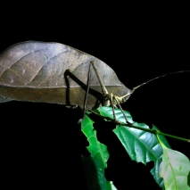 Leaf-mimiking Katydid