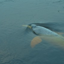Pink River Dolphin 5