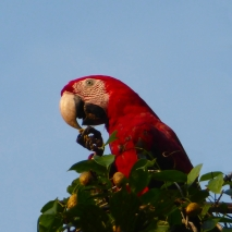 Red and Green Macaw 2