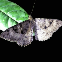 Skipper Moth