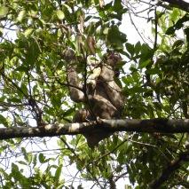 Three-toad Sloth