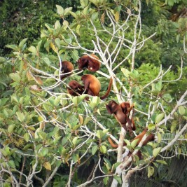 Group of Red Howler Monkeys